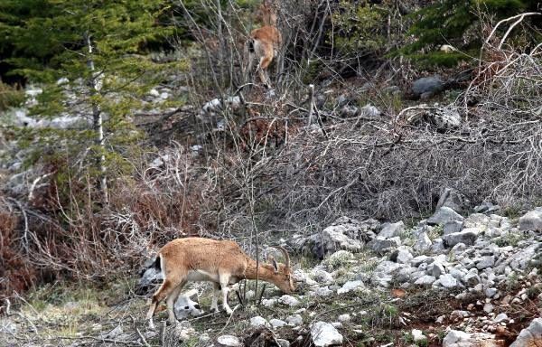 Araç yoğunluğu azaldı, dağ keçileri yol kenarına indi