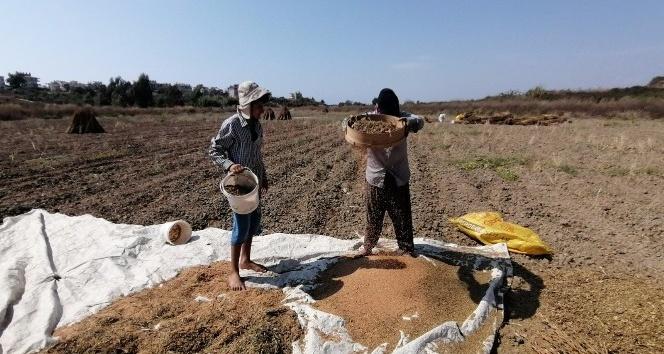 Antalya'da 'Altın Susam'a nöbetli hasat