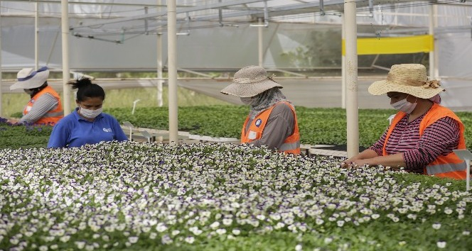 Antalya'nın kışlık çiçekleri hazır