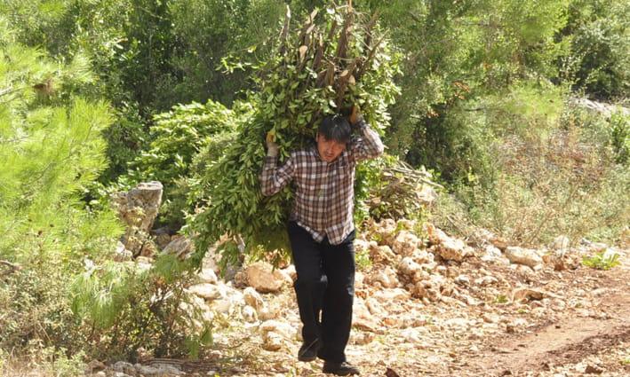 Manavgat'ta defne yaprağından 5 milyon lira gelir bekleniyor