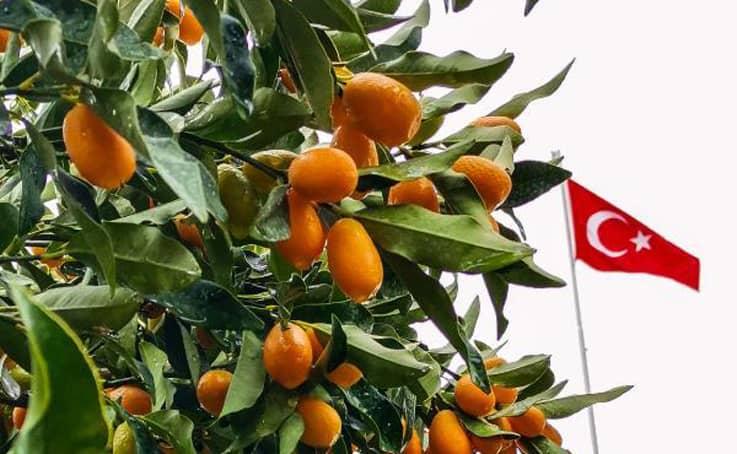 Antalya'nın altın portakalı 'kamkat'ın hasadı başladı