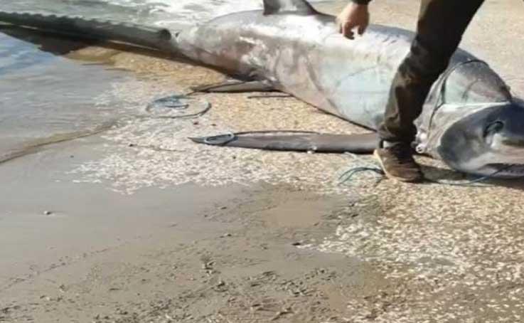 Antalya'da ağlara kırmızı listede yer alan 6 metrelik sapan köpek balığı takıldı