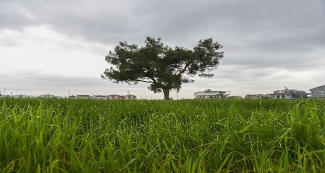 Muratpaşa, buğday üretiminde dünya ortalamasın üzerinde hasat hedefliyor