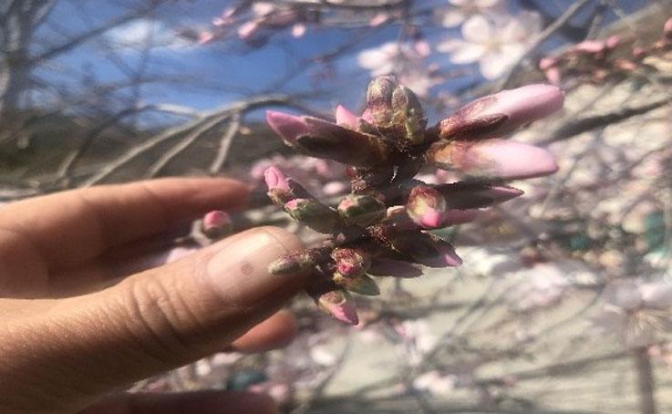 Güneşe aldanan badem ağaçları erken çiçek açtı
