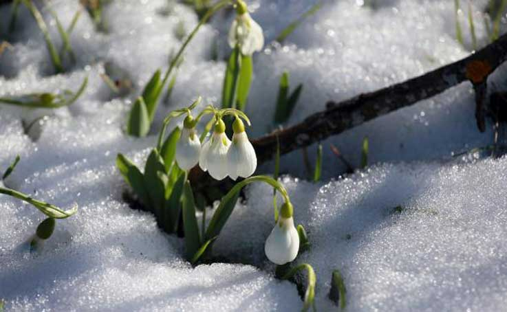Toroslar'da kardelenler erken çiçek açtı