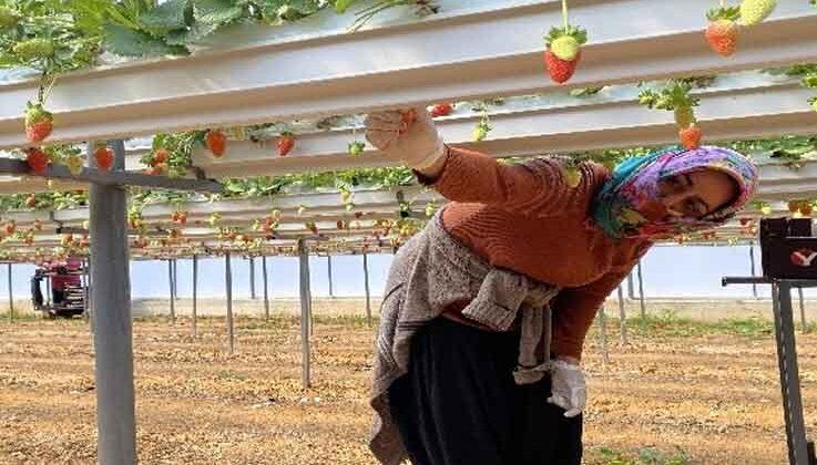 Topraksız çilekte hasat bereketi