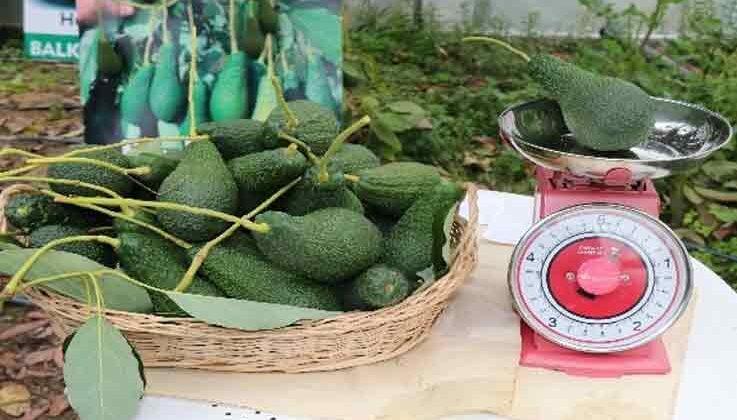Türkiye'de ilk kez serada üretilen avokadonun hasadı yapıldı