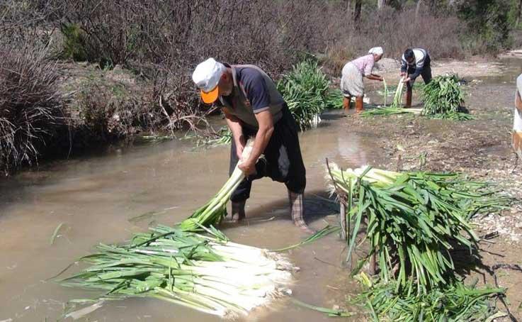 Türkiye'nin kışlık sebze üretim merkezlerinden Antalya'da pırasa hasadı yoğun şekilde devam ediyor