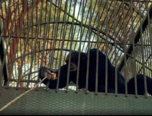 Kafesten kaçan maymun otel çalışanına saldırdı
