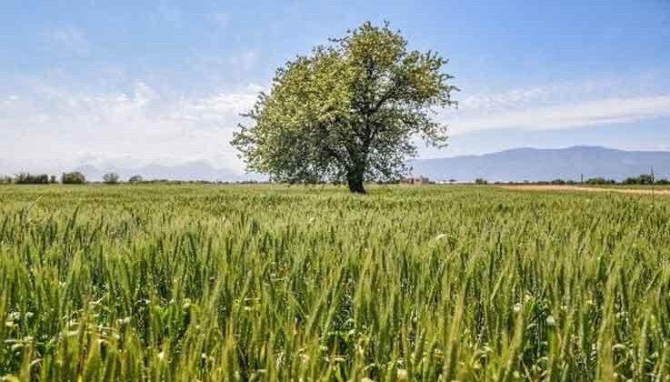 Kepez'de 540 dönüm araziye ekilen 11 ton buğday başak verdi