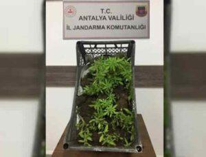 Ormanlık alanda 116 kök kenevir bitkisi ile yakalandı