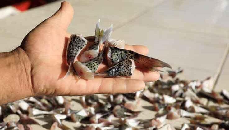 İstilacı balon balığını avlayana yeniden devlet teşviki