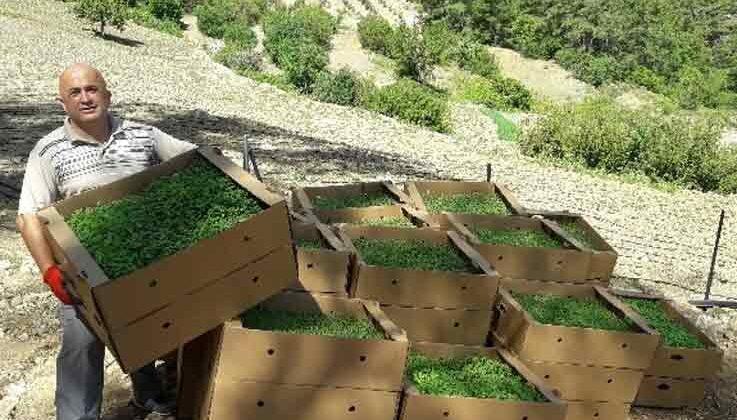 Antalya'da 328 bin adet kekik fidesi hibe edildi