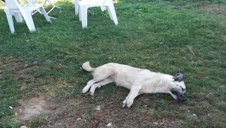 Köpekler telef edilince barınak görevlisi hastanelik oldu