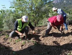 Akseki'de çilek fidesi üretimine başlandı