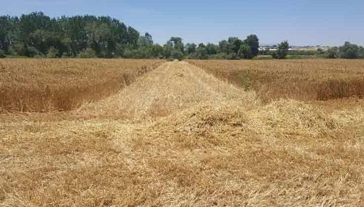 AÜ Ziraat Fakültesi buğday hasadında rekor kırdı