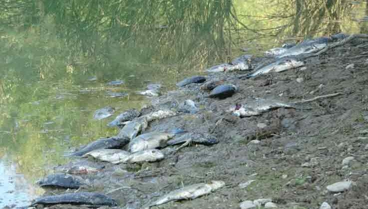 Manavgat'ta çamura dönen göletlerde balık ölümleri