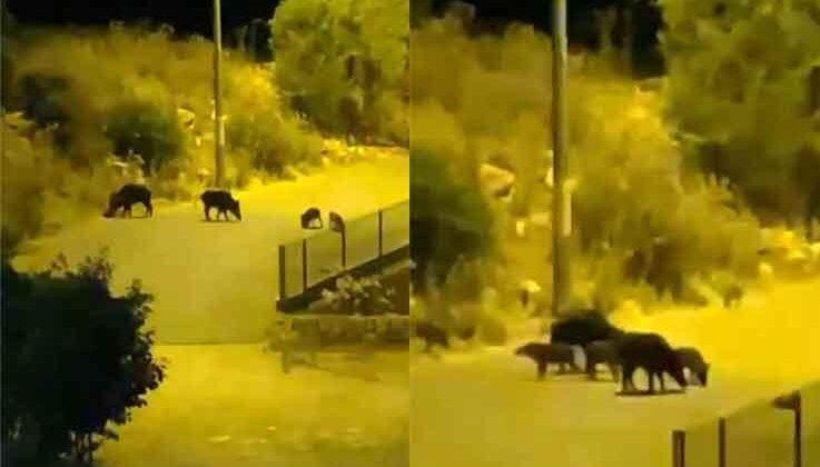 Aç kalan domuzlar yiyecek bulmak için turizm merkezine indi