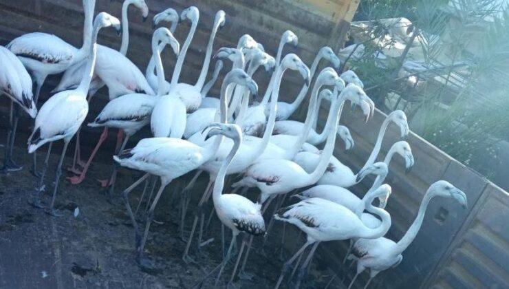Yasa dışı yollardan ele geçirdikleri flamingoların kanatlarını kesmişler