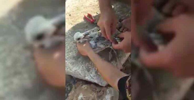Gagasına misina dolanan martı amatör balıkçı tarafından kurtarıldı