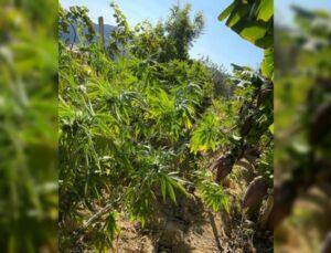 Muz ağaçları ile perdelenen uyuşturucu ekiplerin gözünden kaçmadı